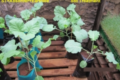 Absorber and Earthlee added to standard treatment for sukuma wiki (kales) on the left. Leaves bigger and generally healthier compared to the untreated on the right