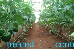 Capsicum (Pilipili Hoho) on the left is treated with Organix products. Control section on the left showing less yield compared to the right side